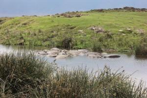 Hipopotamos Ngorongoro