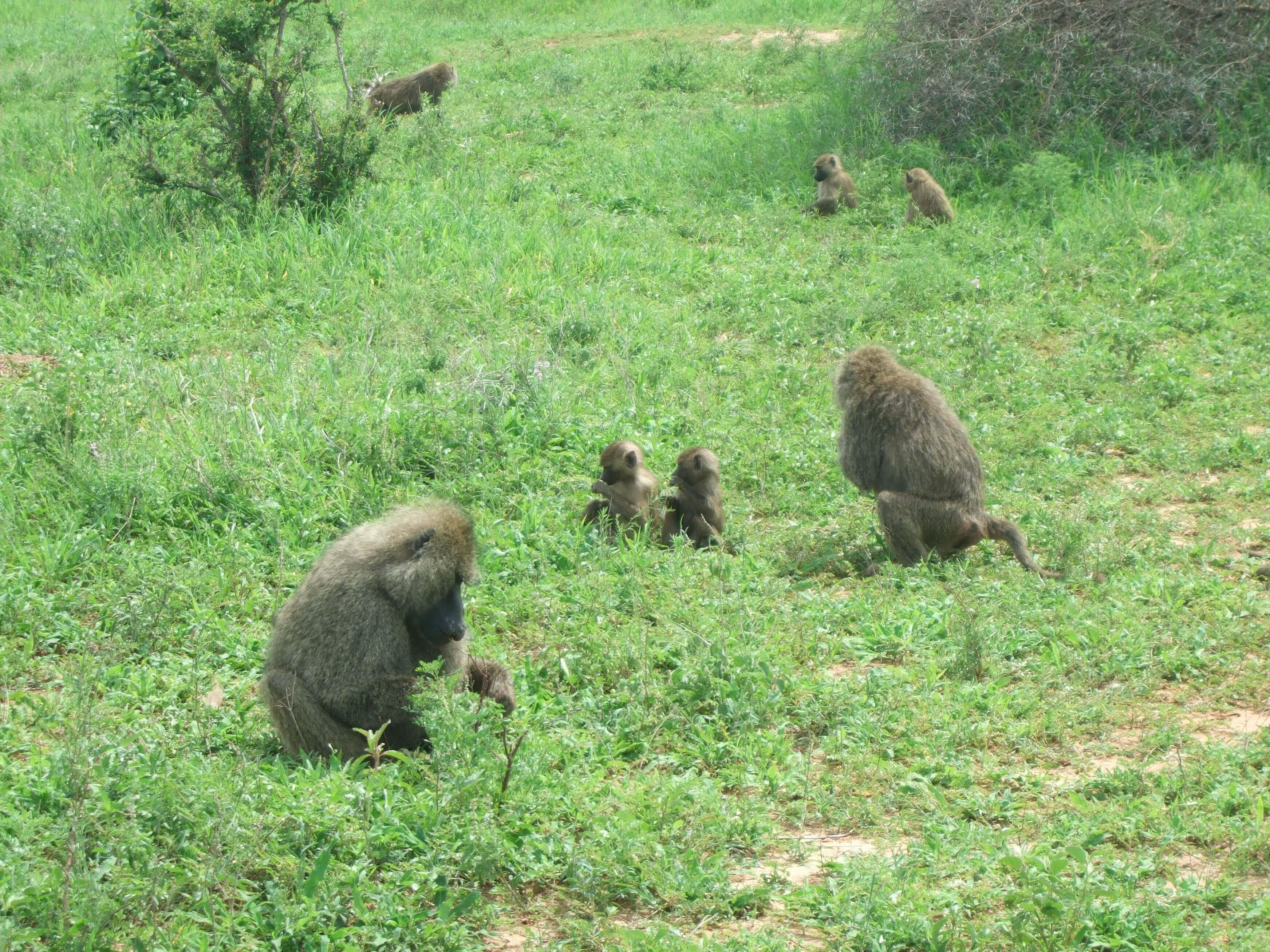 babuinos jovenes