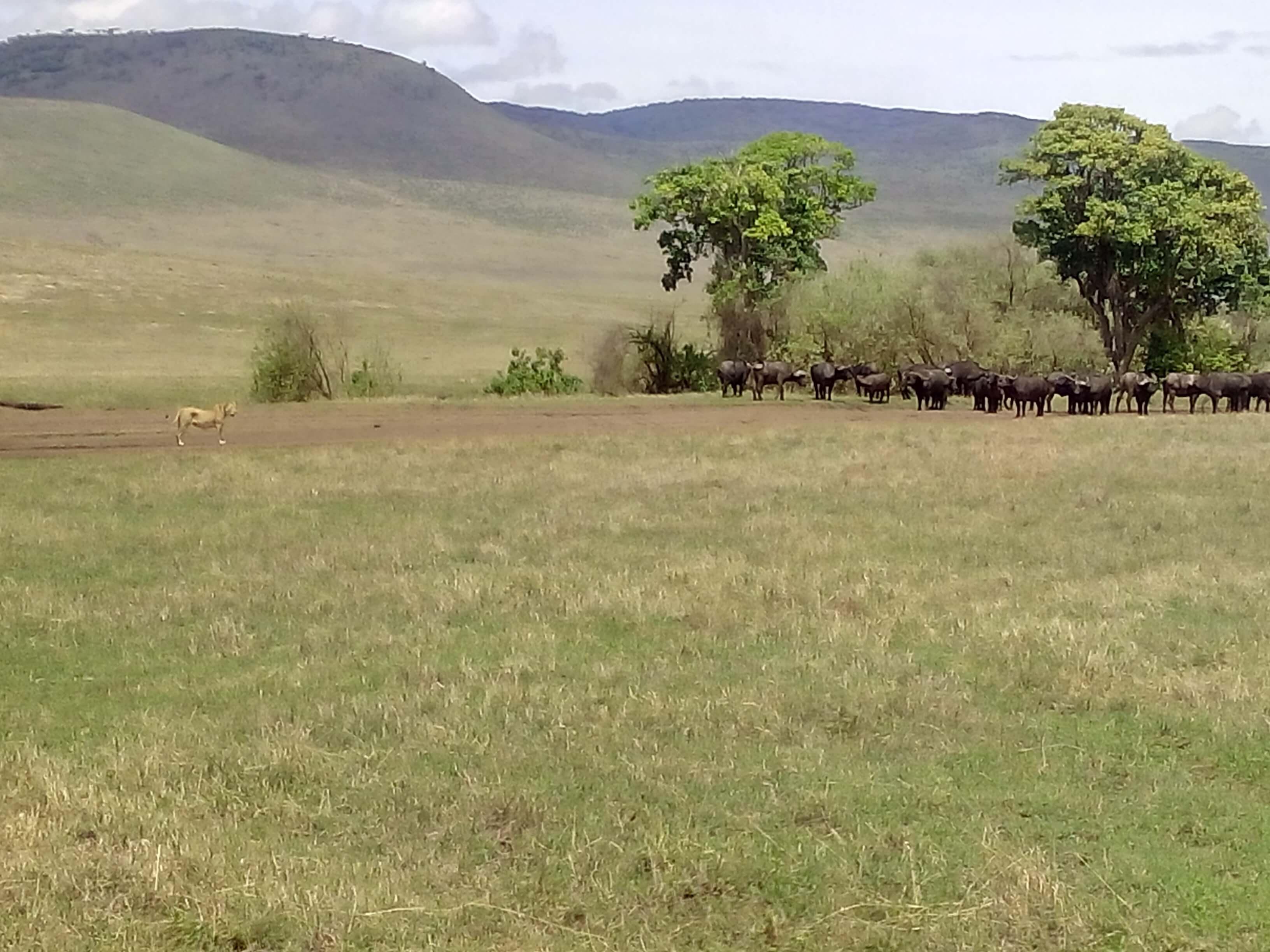caceria leona bufalo