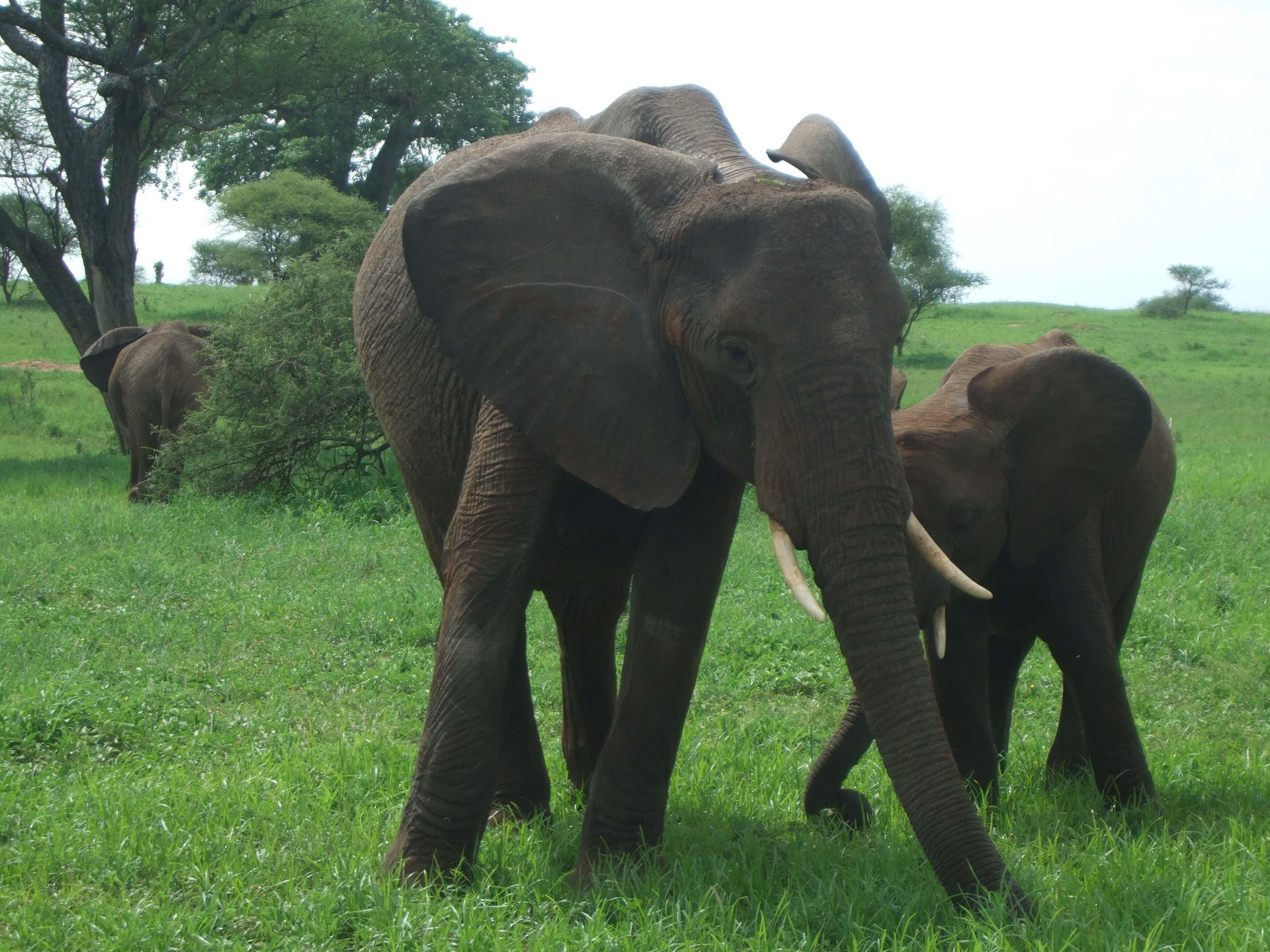 elefante jefe