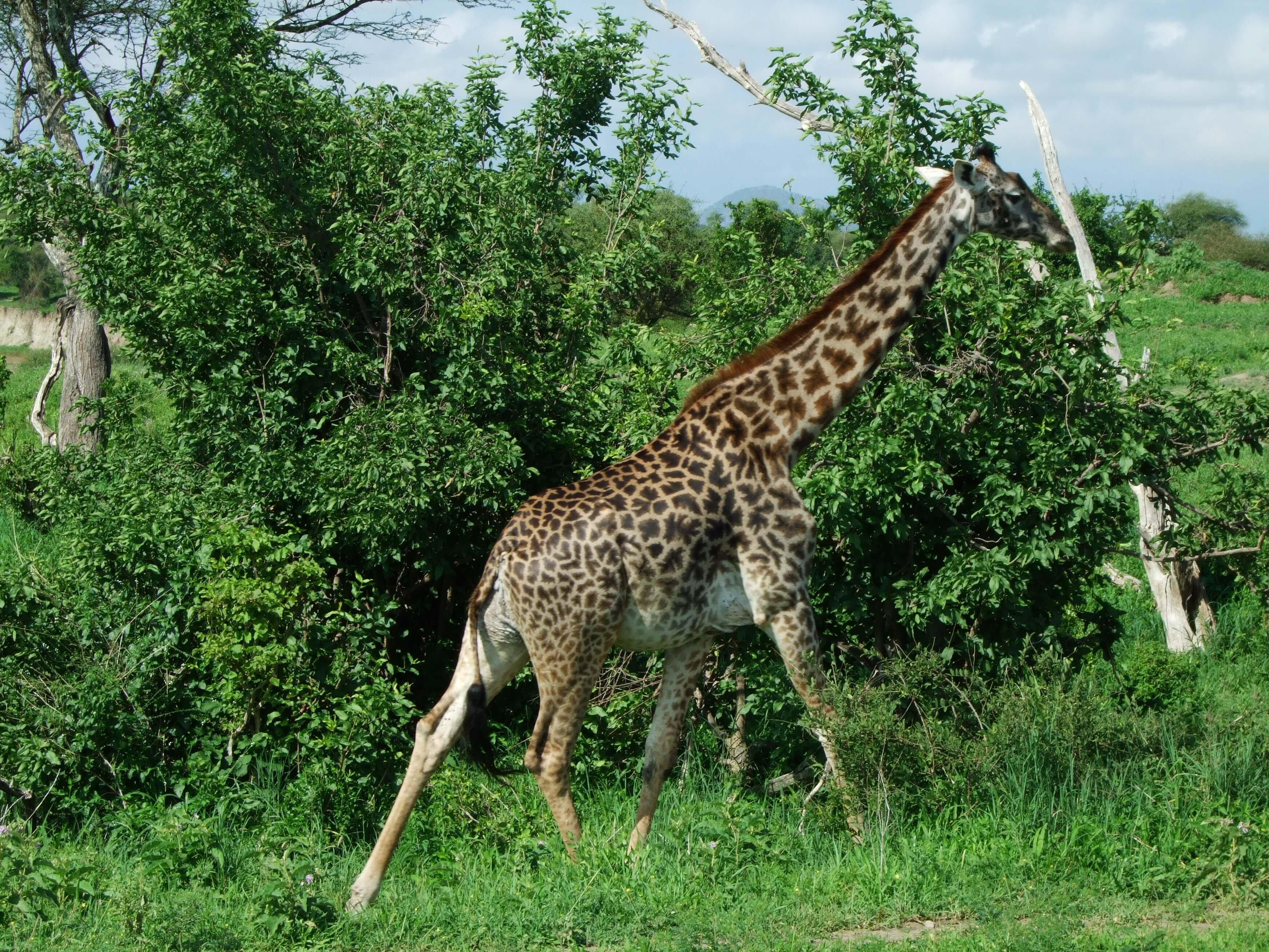 girafa a la carrera