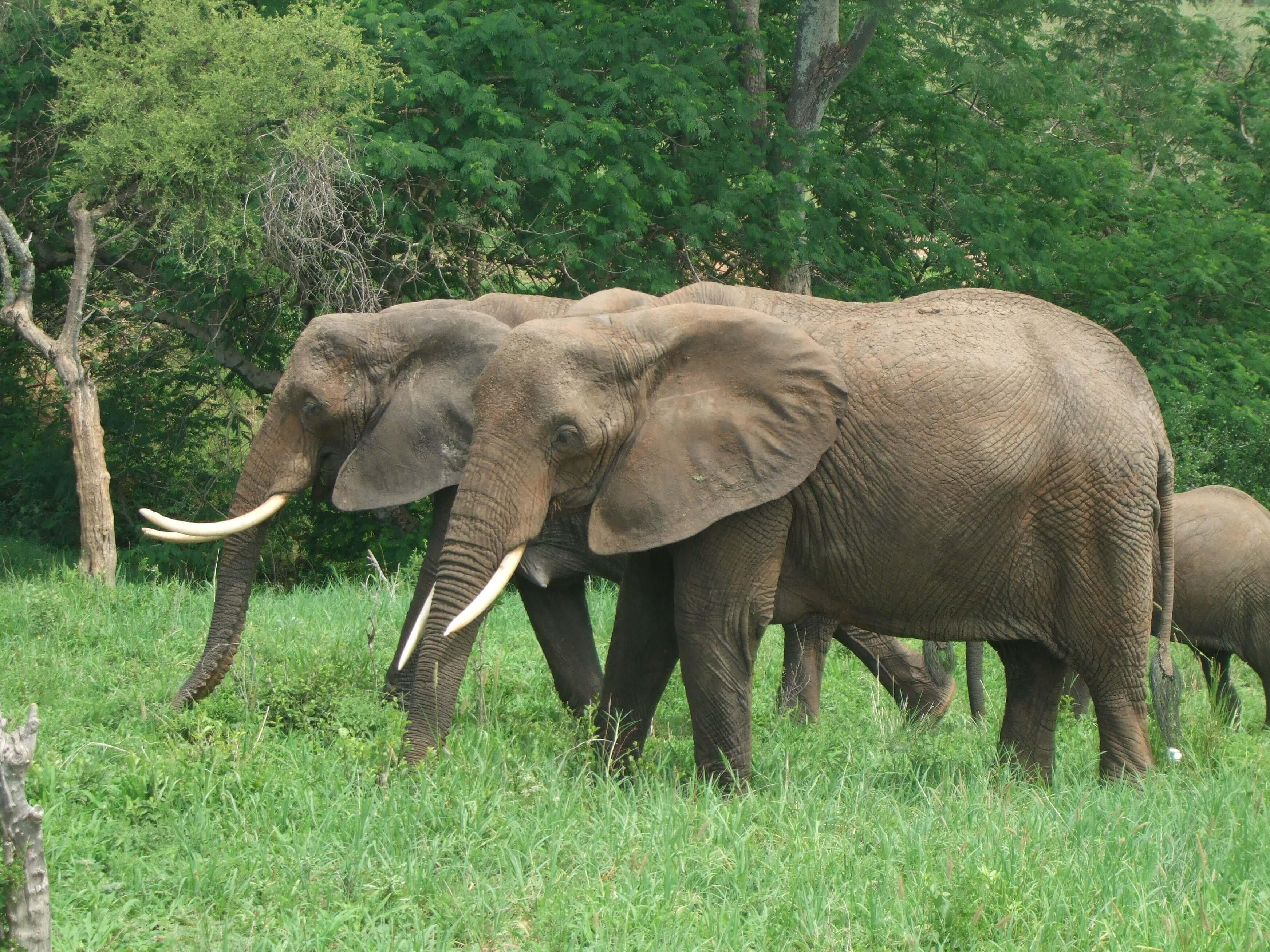 hermanos elefantes